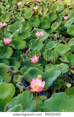 Lotus Flowers In A Pool At A Balinese Temple