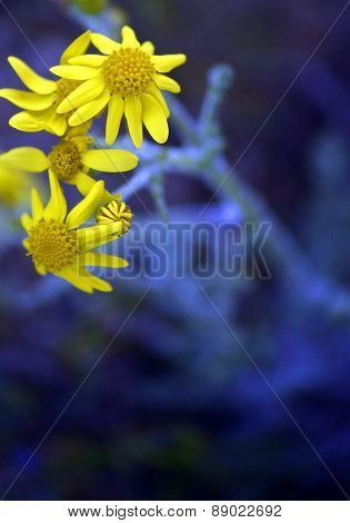Flowers Of A Chamomile With Yellow Petals