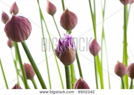 Chives In Bloom
