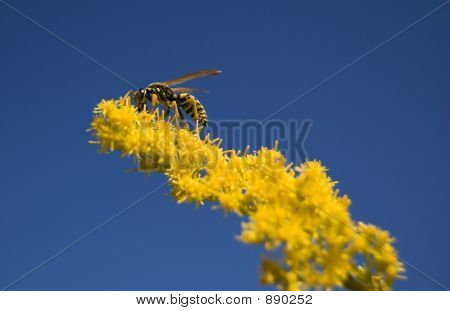 Bee On Yellow On Blue