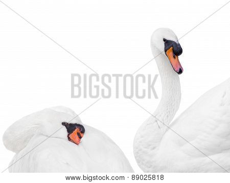 Couple of white mute swans, isolated