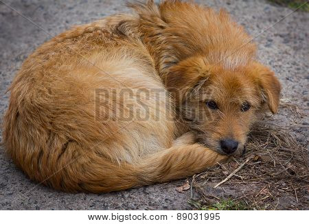 Homeless Red Dog