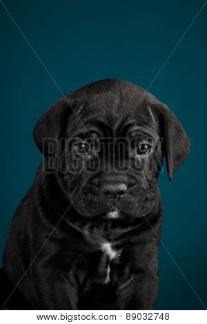 Black Puppy Of Breed The Cane Corso Italiano