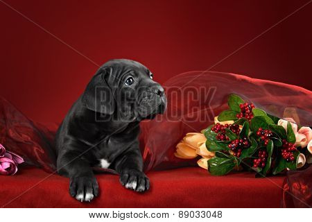 Black puppy of breed the cane Corso Italiano on a red background