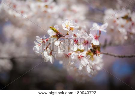 Cherry Blossom Bloom