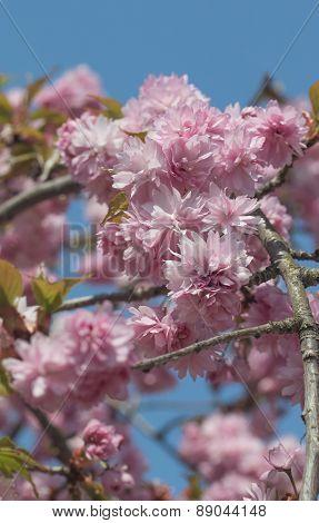 Closeup Of Blooming Sakura. Vertically.