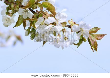 Flowers Of The Plum Blossoms