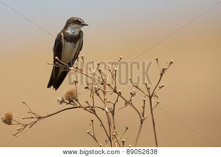 Banded Martin Sitting On A Dry Branch And Calling Its Mate