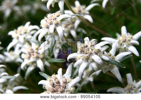 Edelweiss Flower (leontopodium Alpinum), Symbol Of Alps Mountains