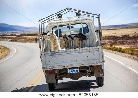 Three Lamas With Traditional Ear Tags Ride In A Truck. Road To La Paz, Bolivia, South America