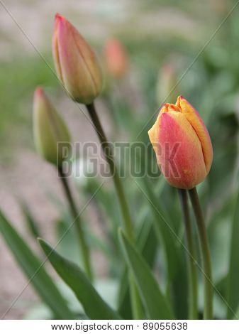 Beautiful tulips grow in a garden