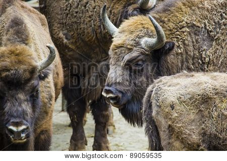 Wisent, European Bison, Poland