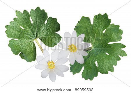 Bloodroot Wildflower