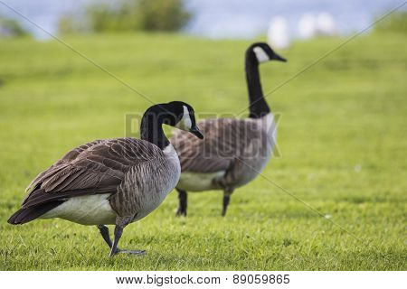 Canada Goose (branta Canadensis) Strolling In The Park