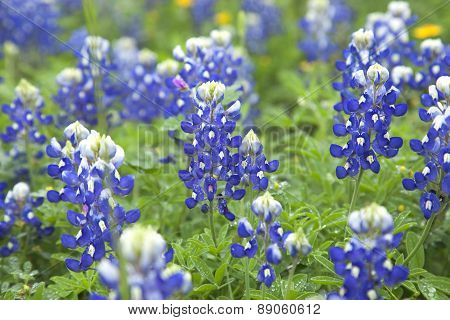 Close Up Of Texas Bluebonnet Wildflowers