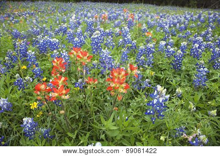 Low Angle View Of Indian Paintbrush And Bluebonnets In Texas Field