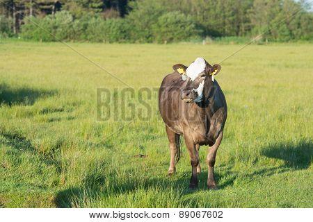 Grazing Herford cows on Dutch wadden island Terschelling