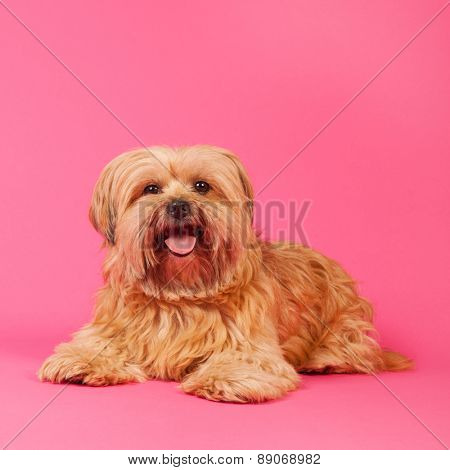 Little mixed breed dog with long hair on pink background