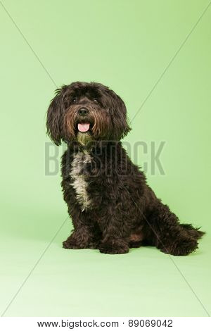 Little black Tibetan Terrier on green background
