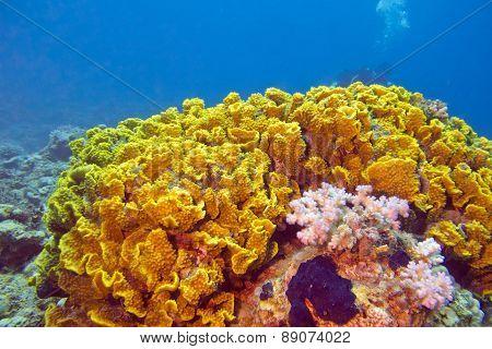 Yellow Coral Turbinaria Mesenterina , Underwater