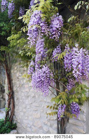 Cascade Purple Wisteria Vine