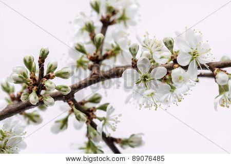 Sour cherry blossom.