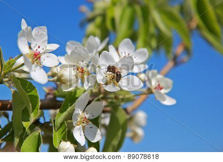 Bee Pollinates White Flowers On A Tree