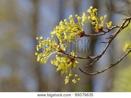 Branch Of Maple Early Spring