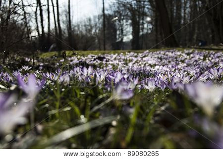 Crocus from a frog perspective