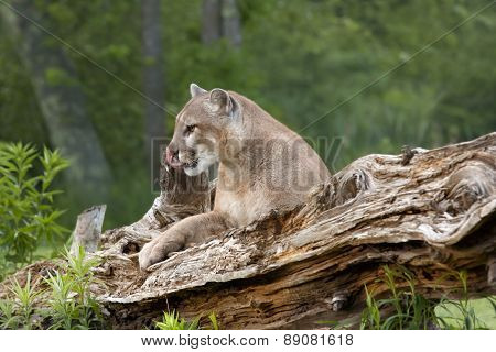Mountain Lion Resting on Fallen Tree
