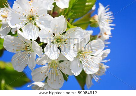 Nice cherry tree blooming at spring time