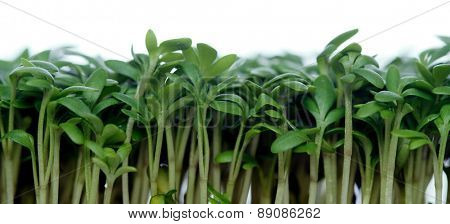 Close-up of garden cress