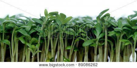 Close-up of garden cress