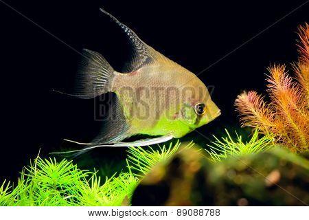 Aquarian Small Fish - Pterophyllum Scalare