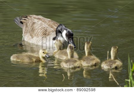 Mother Goose And Goslings.