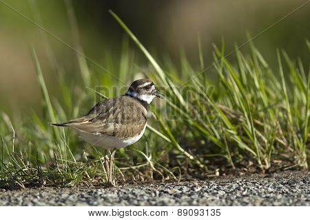 Killdeer By The Grass.