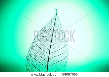 Skeleton leaf on green background, close up