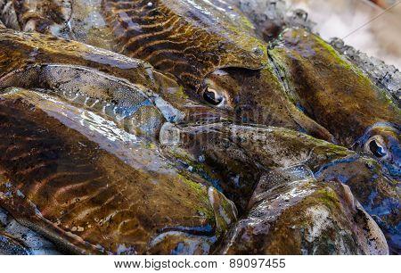 Black Cuttlefish Macro