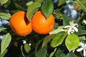 pic of tangerine-tree  - Ripe tangerines and flowers on a tree branch close - JPG
