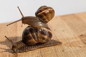 image of crawling  - two snail crawl and play on the wooden table - JPG
