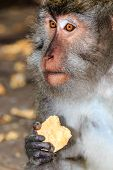foto of macaque  - A Crab Eating  - JPG