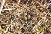 foto of bird egg  - Birds nest with eggs in the wild, on a sunny day. ** Note: Soft Focus at 100%, best at smaller sizes - JPG