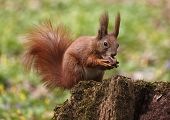 stock photo of walnut-tree  - close up of squirrel eating walnut on tree stump - JPG