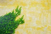 stock photo of ivy  - ivy leaves on a yellow rustic wall - JPG