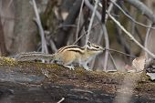 picture of chipmunks  - small Chipmunk in their natural habitat  - JPG