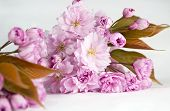 picture of fukushima  - Close up of a spray of cherry blossom flowers on a white background - JPG