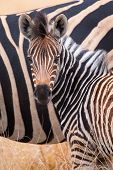 picture of herd  - Zebra herd in a colour photo with heads together - JPG