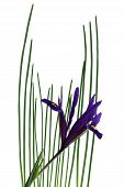 foto of dwarf  - Dwarf Iris flower and leaves isolated on white background - JPG