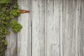 picture of ivy  - An old wood door with ivy a rusty hinge nails and holes - JPG