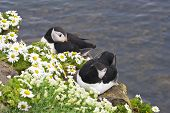 stock photo of cliffs  - Atlantic puffin pair rests on cliffs covered with daisies at wild Latrabjarg Cliffs Europe - JPG